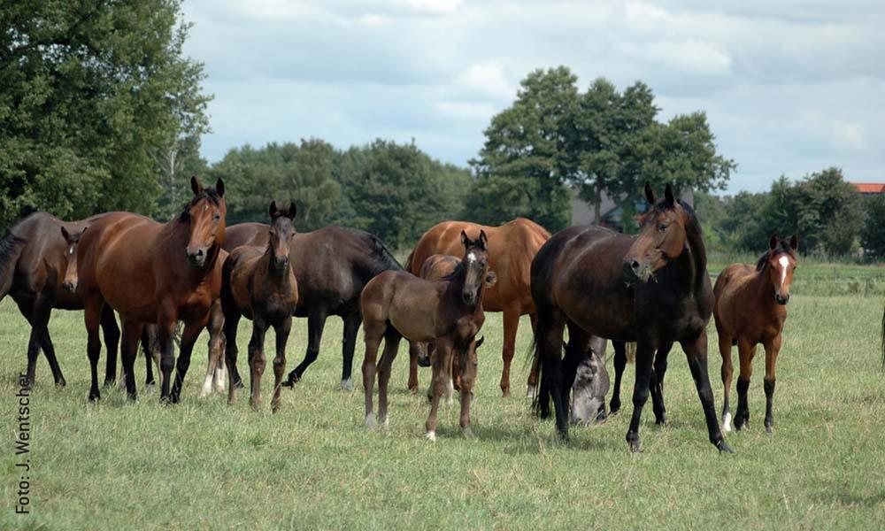 Fohlen und Ihre Mütter sollen immer in der Herde auf die Weide. Das fördert das Sozialverhalten des Nachwuchses.