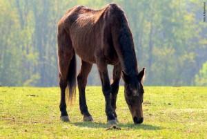 Alt aber fit: Sehr alte Pferde magern häufig ab, weil sie die Nahrung nicht mehr richtig verarbeiten können.
