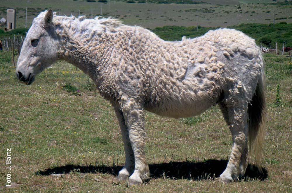 Das Cushing-Syndrom ist eine hormonelle Erkrankung, die vorwiegend alte Pferde befällt. Optisch äußert sie sich in struppigem, bisweilen lockigem Fell.