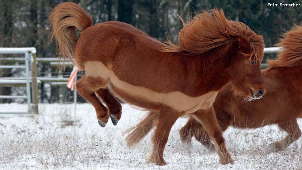 Ein Islandpferd mit Teilschur: Wird das Pferd im Winter viel geritten, ist es mit der Teilschur schneller trocken. Kommen allerdings Nässe, starke Kälte und Wind zusammen, sollte man es mit einer leichten Decke eindecken.