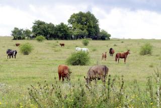 Mischbeweidung mit Rindern erhöht die Qualität und auch den Hygiene- standard der Pferdeweide.