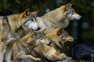 Über 30 Wolfsrudel sind derzeit in Deutschland registriert und werden durch das sogenannte Wolfsmonitoring beobachtet.
