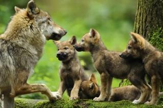 Wölfe haben in Deutschland keine natürlichen Feinde und können sich deshalb ungehindert fortpflanzen.