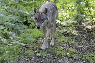 2010 wurde das Wolfcenter in Dörverden (Landkreis Verden) eröffnet. Es bietet den Besuchern auch ein Museum und regelmäßige Infoveranstaltungen rund um das Thema Wolf. Foto: Gerlinde Hoffmann