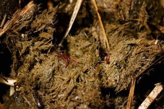 Palisadenwürmer (Strongyliden) im Kot – kein schöner Anblick. Foto: A. Bronkhorst