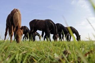 Frisches Gras steckt voller wichtiger Nährstoffe für den Organismus. Aber Achtung! Zu viel des Guten kann schaden, wenn der Verdauungstrakt es nicht gewohnt ist. Daher gilt im Frühjahr: die Pferde langsam angrasen und an die Futterumstellung gewöhnen! Alle Fotos: Frank Sorge