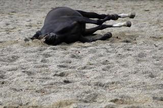 Hektisches Wälzen ist ein recht eindeutiger Hinweis auf eine Kolik. Aber nicht alle Pferde werden unruhig bei Bauchmschmerzen. Je nach Art des Leidens sind manche auch nur matt, liegen zu ungewöhnlichen Zeiten und sind apathisch.