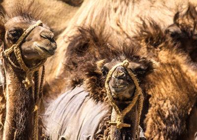 Monoglei-Kirstin-Seidel_Kamele